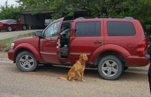 "A retriever-type dog is shown with one paw raised in an ""alerting"" pose outside of a red SUV."